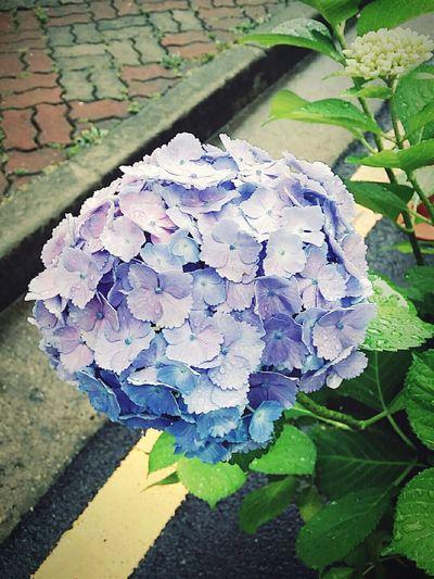 동네에서 만난 수국 Flowers 꽃