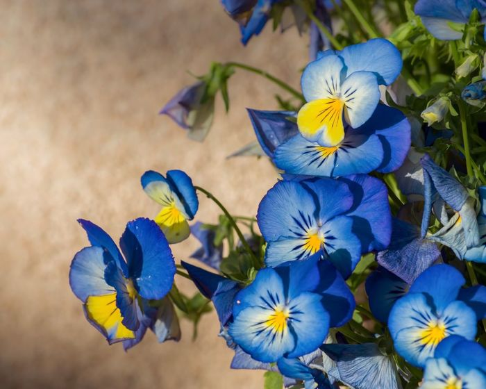 Blue and Yellow Pansies Flower Petal Beauty In Nature Fragility Flower Head Blue Nature Plant Growth Purple No People Freshness Close-up Day Pansy Blooming Outdoors