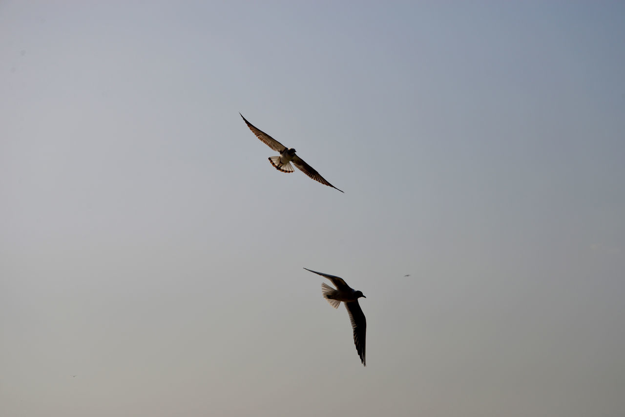 flying, bird, animals in the wild, animal themes, spread wings, nature, mid-air, animal wildlife, beauty in nature, no people, clear sky, outdoors, one animal, day, sky