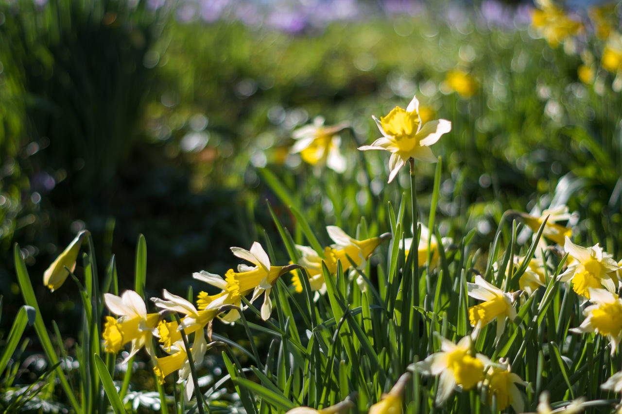 Narzissen. Flower Nature Beauty In Nature Growth Plant Yellow Freshness Flower Head Fragility No People Beauty Green Color Close-up Grass Outdoors Day Narcissus