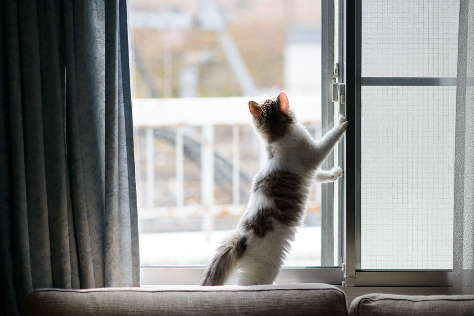What is the world outside like? Animal Themes Cat Cat Lovers Cat Photography Cat Portrait Cats Of EyeEm Curtain Domestic Animals Domestic Cat Drapes  EyeEm EyeEm Best Shots EyeEm Gallery Feline Looking Through Window Norwegian Forestcat  Pet Pets Sliding Door Window Window Sill ねこ 猫 猫ぽとれ
