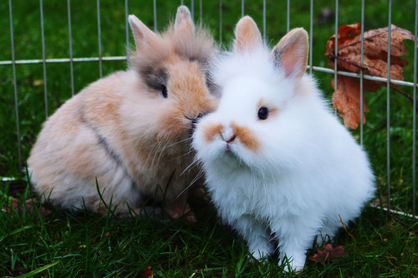 Brown en white bunnies Cute Pets Cute Pets Cute Pets White Color Domestic Animals Animal Themes Mammal Grass Feline Togetherness No People Day Close-up Indoors
