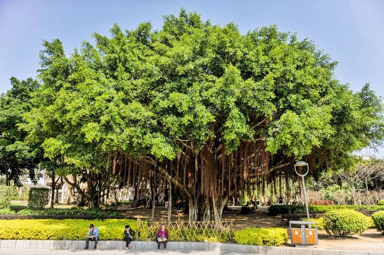 Banyan 厦门 One tree does make a forest.