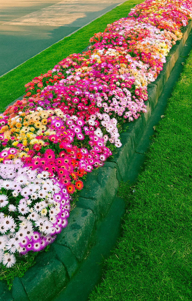 Flowers on the road Taking Photos Check This Out Enjoying Life Colors From Where I Stand Capture The Moment Inspired Getting Inspired From My Point Of View Nature's Diversities Flowers Pink Daisy Floral Nature Petals Bright EyeEm Nature Lover