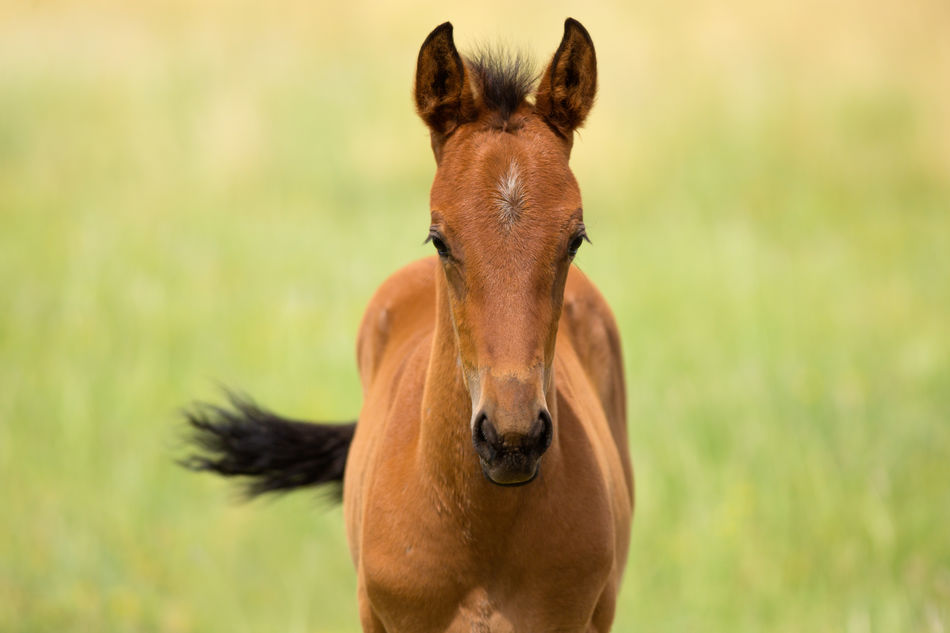 Sweet Baby Foal In Field Foalsforever Baby Horse Animals Domestic Animals Farm Life Pets Corner No People Animal Themes One Animal Rural Scene Baby Animals Horsey  Cutestbabyever Rural Scenes Rural America Rural Horse Farm Mammal
