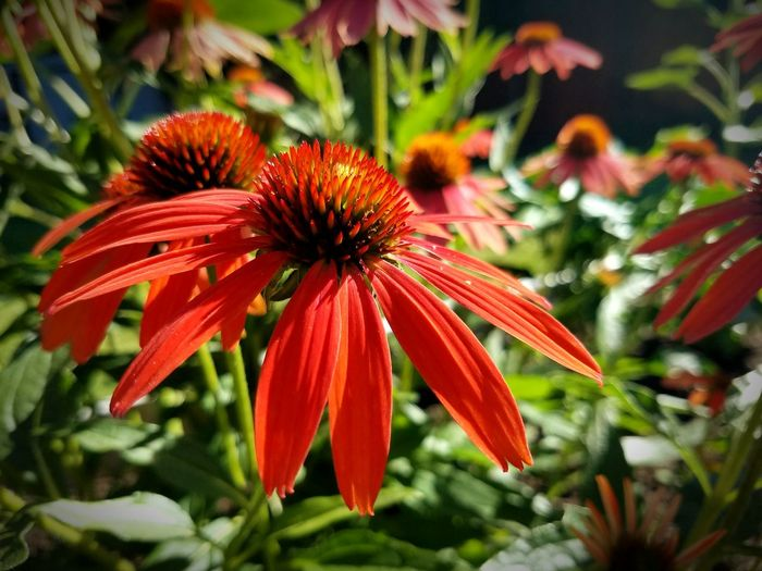Red Flower Flowers, Nature And Beauty Echinacea Peace Peaceful Place Peaceful Green Leaves Red Flowers Red Flowers In The Field Summer Flowers Summer