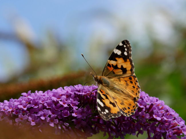 Distelfalter Painted Lady Butterfly Animals Beauty In Nature Flowers Focus On Foreground Fragility Insect Lilac Flower Macro Nature No People Outdoors Pollination Purple Wildlife Perspective Close-up Close Up Botany From My Point Of View Taking Photos Bokeh Colour Of Life