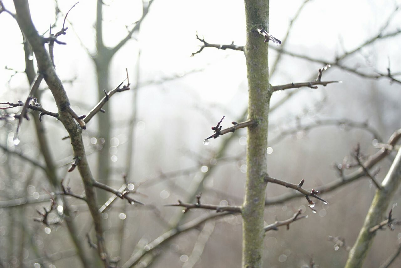 needle drops Tree Branch Outdoors Bare Tree Würzburg Winter 2017 Outdoor Photography Focus On Foreground Close-up Beauty In Nature Foggy Morning Sunday Morning Landscape Blurry Background Bokeh Photography Sony A6000 Hawthorn Gegenlicht Backlighting