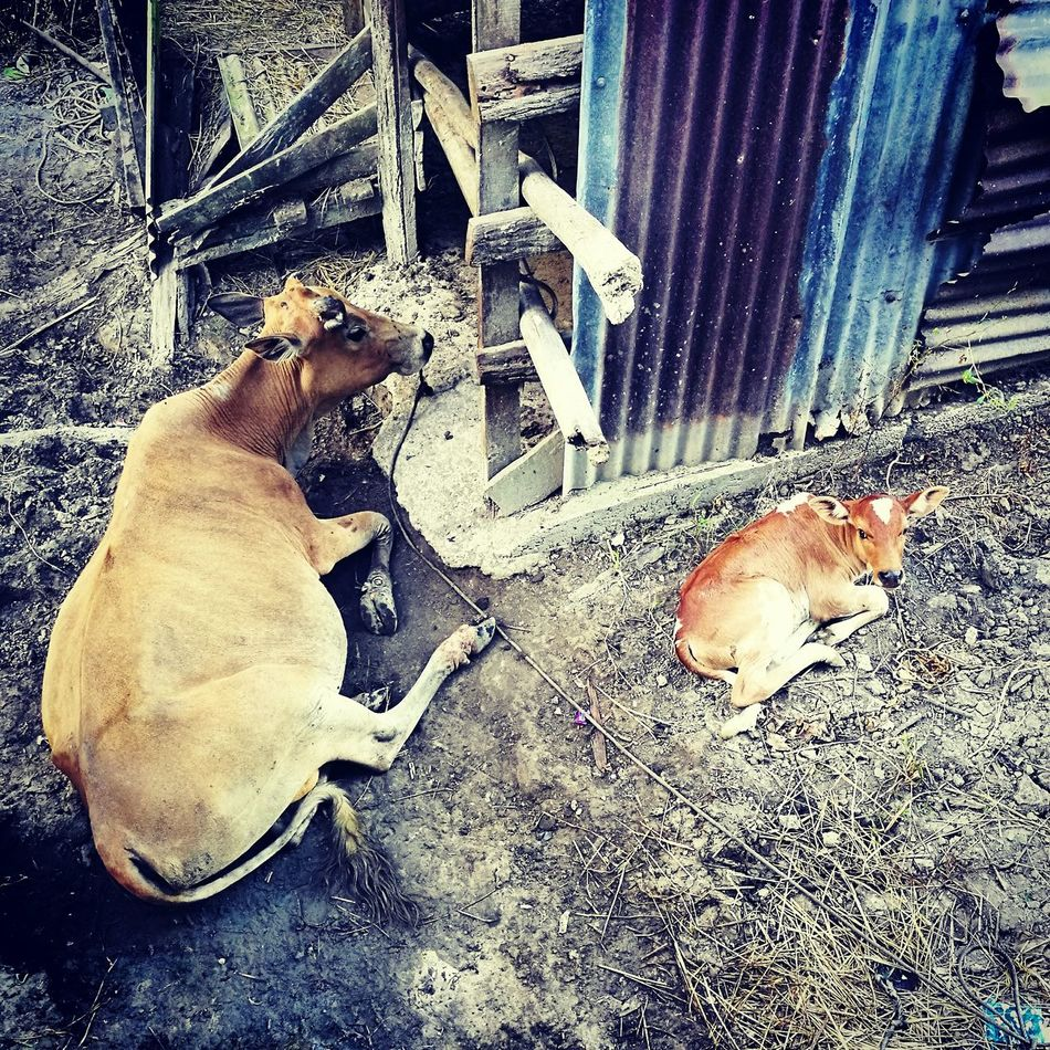 open ur window early in the morn., to dis. Mammal Rumah Kampung Kampunglife Sawah Padi No People Day Kampungku Nature Animals In The Wild Beauty In Nature Old House Cows Cows In A Field Lembu Kenduri Kahwin