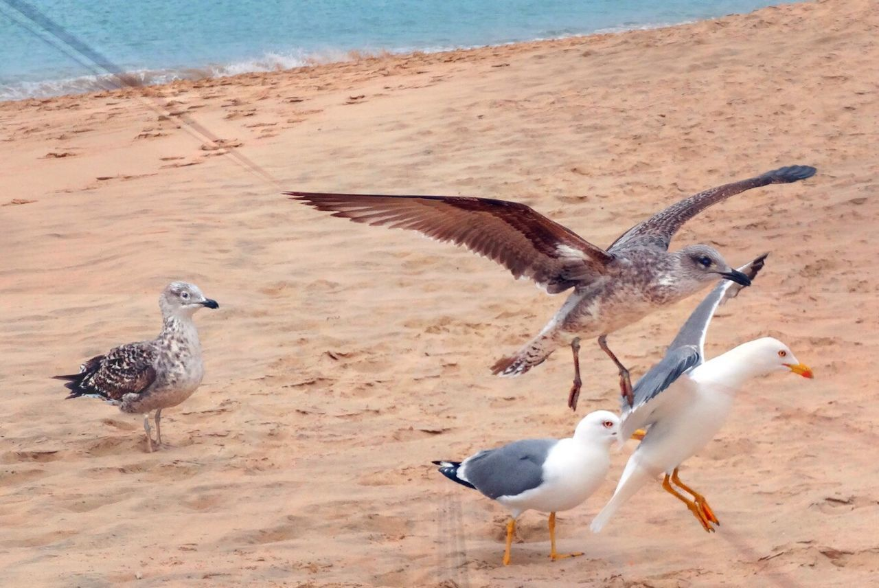 bird, animals in the wild, animal themes, nature, sand, beach, animal wildlife, seagull, day, water, outdoors, flying, no people, spread wings, sea, beauty in nature