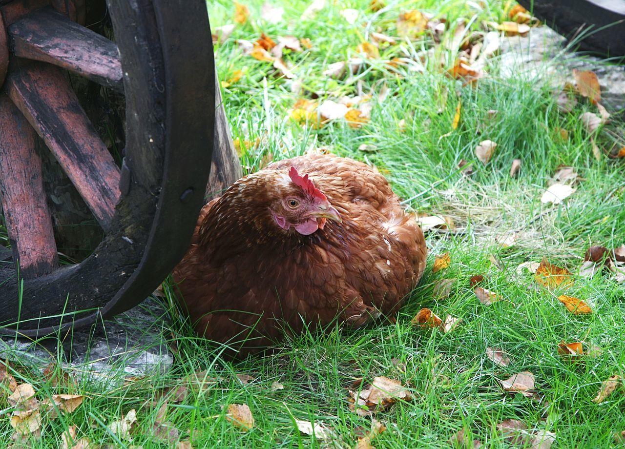 Chicken Bird Fauna Eesti Estonia Viikingite Küla Viking Village Village Countryside курица курочка наседка птица деревня деревня викингов эстония