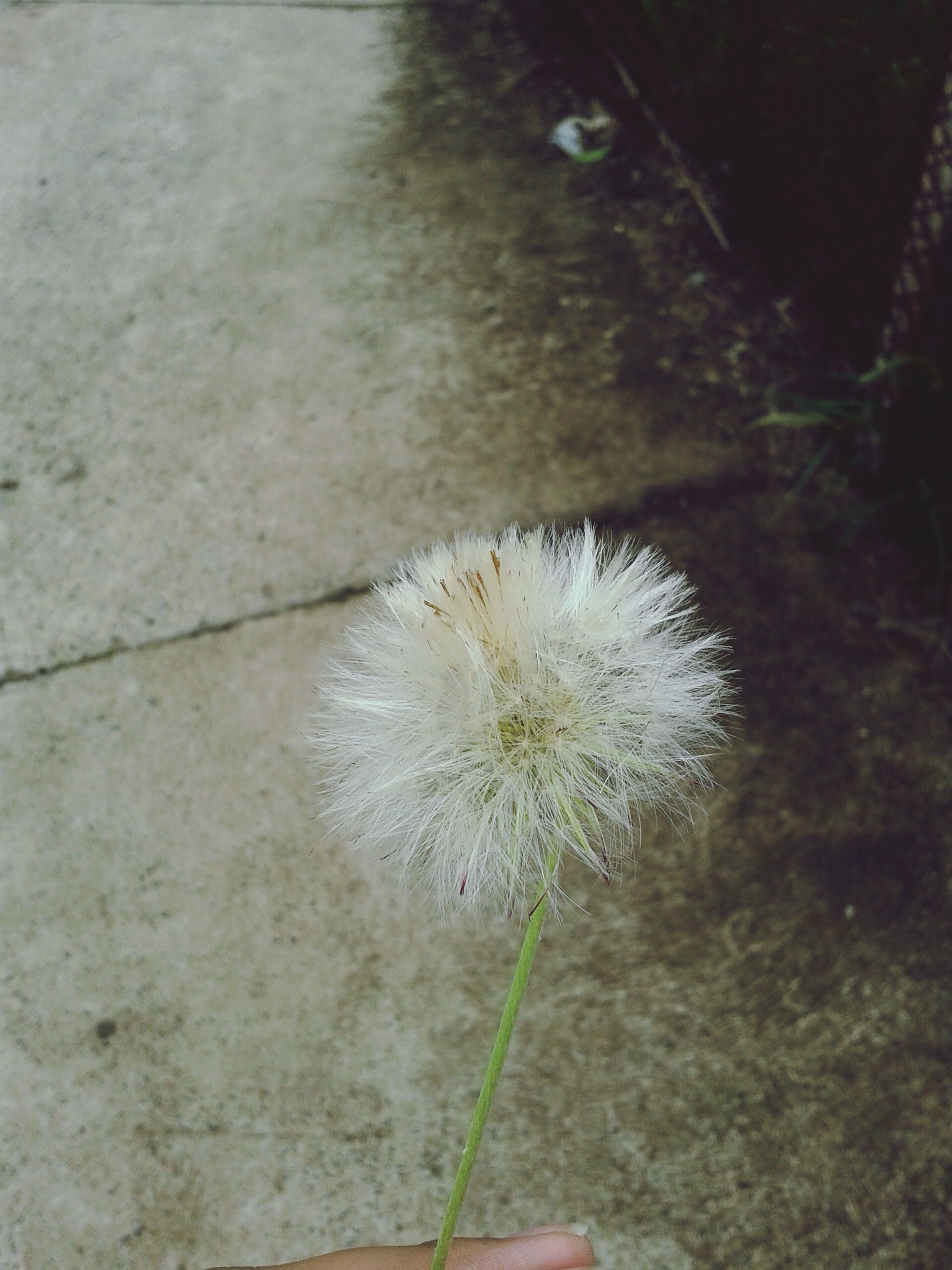 flower, dandelion, fragility, single flower, flower head, freshness, growth, close-up, white color, nature, beauty in nature, high angle view, plant, softness, water, stem, uncultivated, petal, outdoors, day