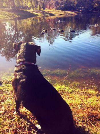 Nature Good Dog Geese At The Lake