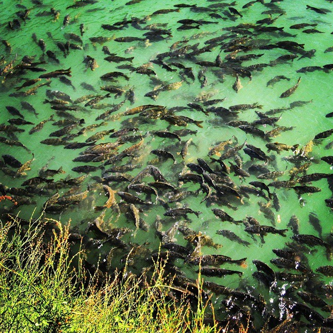 Fishes,best example of agility. Canon Capture Morning Nainital Fish Feedingfish Splashes Greenwater Aquatic Friends Naturalaquarium Instafish Instagood Freshwater Beautiful Animallover Nature_shooter LoveNature