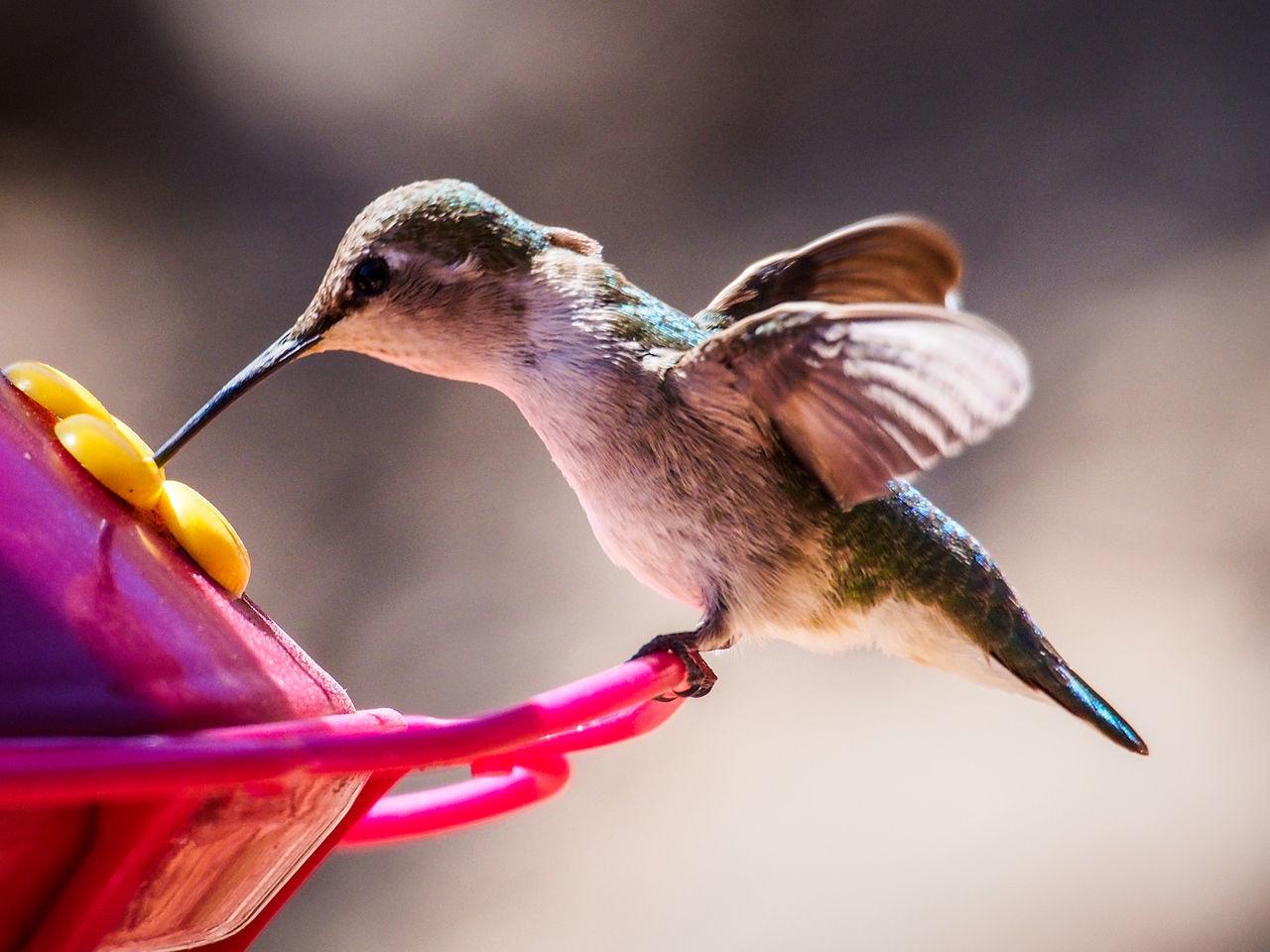 Beautiful stock photos of kolibri, Animal Behavior, Animal Body Part, Animal Themes, Animal Wildlife