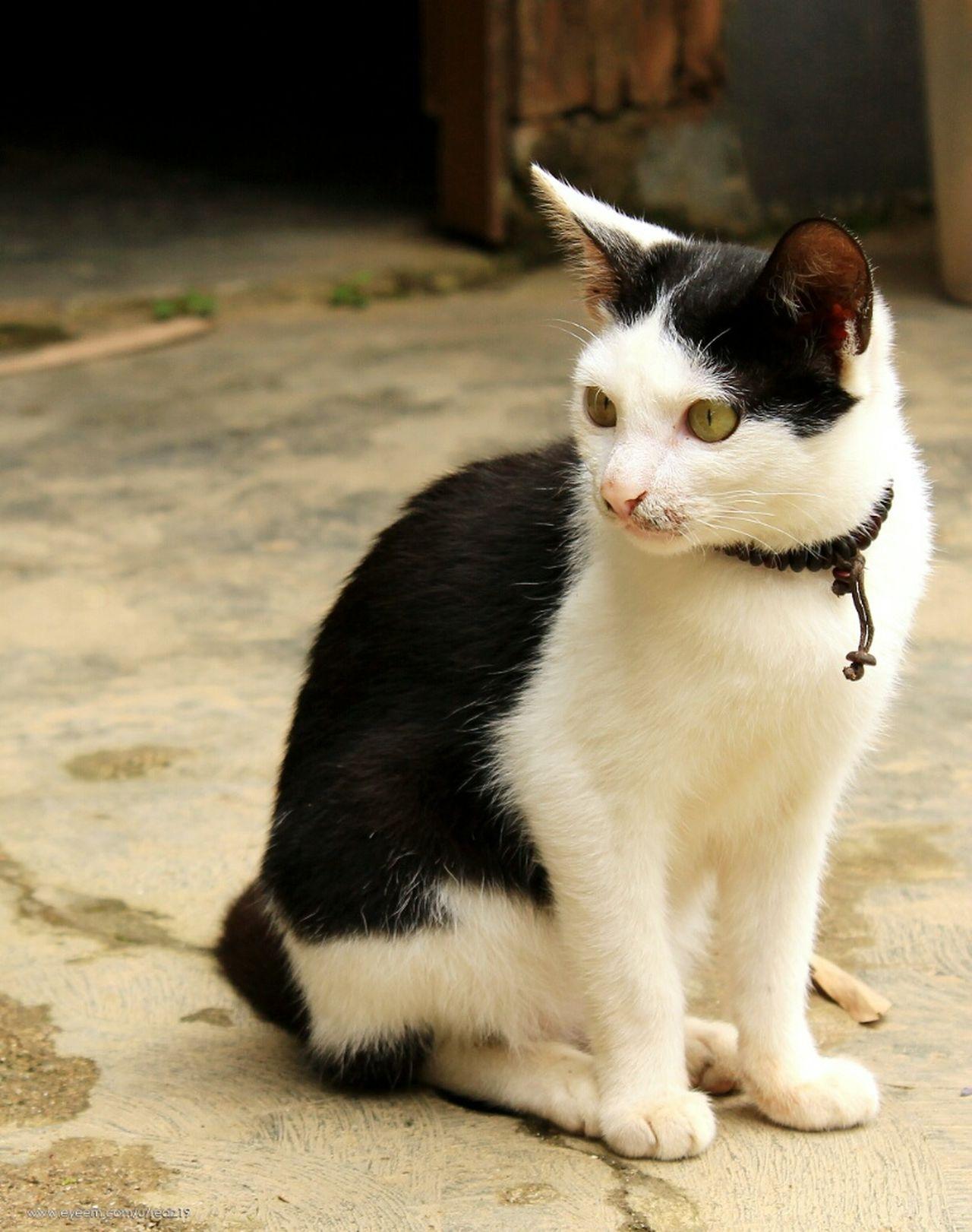 Cat One Animal Animal Themes Mammal Pets Domestic Animals Sitting Domestic Cat Feline Day Toraja Kete Kesu Rantepao Toraja Utara INDONESIA