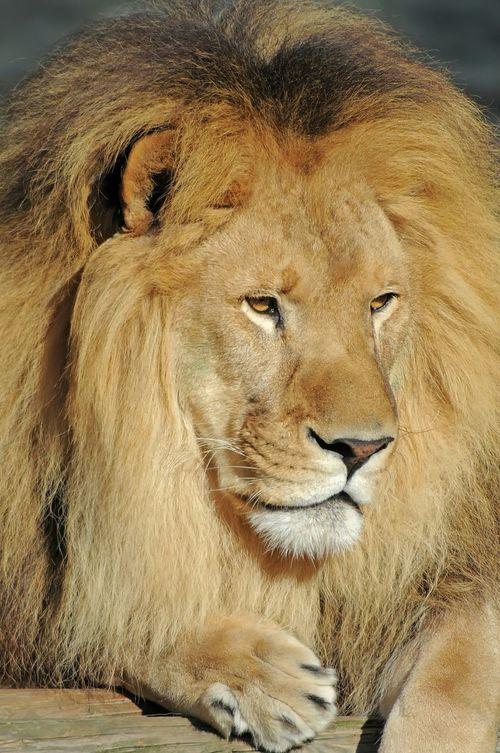 Lion Lion King  Animal Animaux Zoo De La Palmyre France Charente Roi