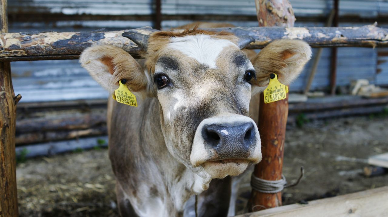 Beautiful stock photos of cow, Animal, Animal Body Part, Animal Head, Animal Pen