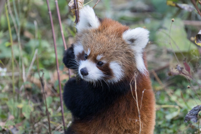 Ailurus Fulgens Animals In The Wild Beauty In Nature Close-up Day Focus On Foreground Lemur Lesser Panda Looking Mammal One Animal Outdoors Red Panda Wildlife Zoo Zoology Baby Animals