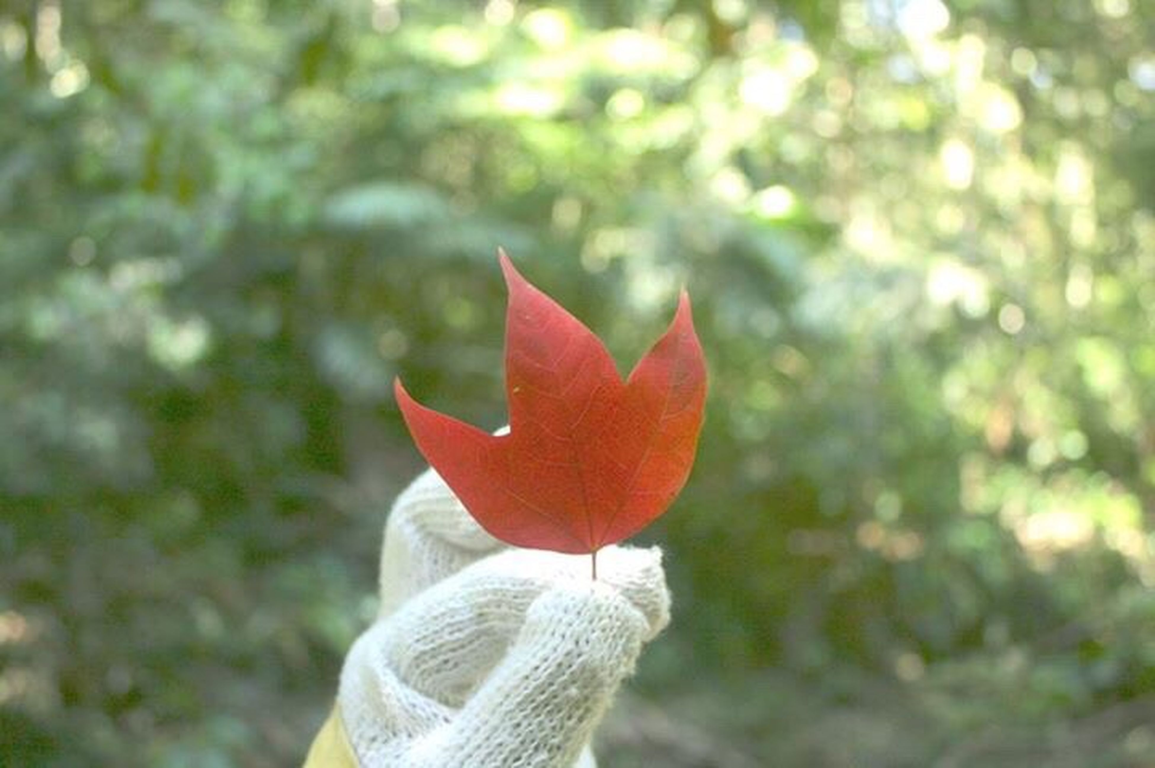 autumn, maple leaf, leaf, red, day, outdoors, focus on foreground, nature, close-up, human body part, one person, tree, beauty in nature, people, human hand