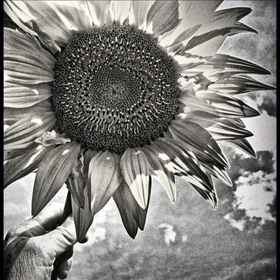 #lux #bw #dramaticbw #camera+ #sunflower #summer #flower #mobilephotography #igersoftheday #igersphilly #iphoneonly #iphonesia #instagood #canvaspop #instamood #instadaily #webstagram #picoftheday #photooftheday #iphoneography #igaddict #mnolt Instagood Webstagram Summer 20likes Camera Instadaily IPhoneography Igersoftheday Flower Igaddict Sunflower Canvaspop Lux Igersphilly Bw Morningyard Iphoneonly Mnolt Photooftheday Dramaticbw Iphonesia Picoftheday På Mobilephotography Instamood