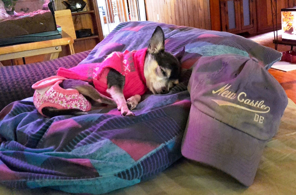 Precious ❤ Bella Chihuahua Chihuahuas<3 Partners In Crime My Best Friend Happy Dogs Chihuahua Lovers My Life ❤ My Dogs Are Cooler Than Your Kids Casa De Albatross Pampered Pets Bella ❤ New Castle De 19720 Fellsmere, Florida USA