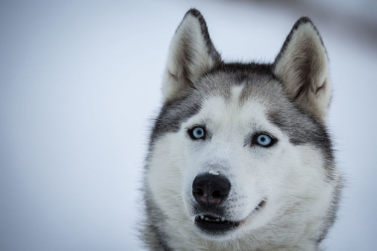 Alertness Animal Animal Head  Animal Themes Blue Eyes Close-up Copy Space Curiosity Dog Domestic Animals He You Guys Husky Looking At Camera Mammal No People One Animal Pets Portrait Two Animals Zoology