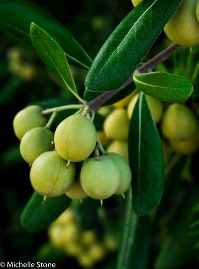 Green Color Olive Trees Green Color Spain♥