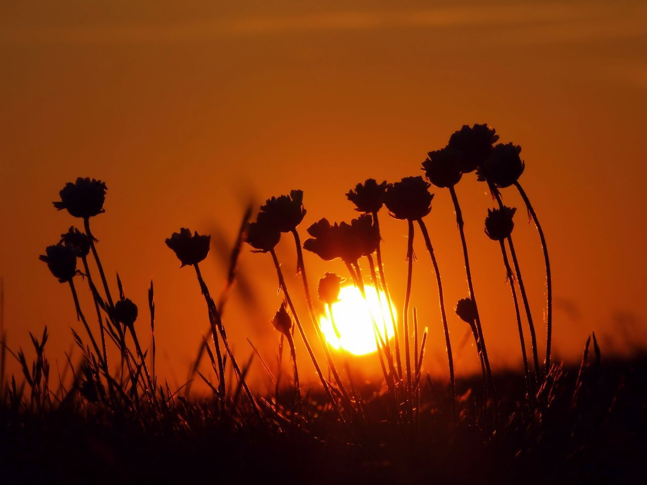 Low Angle View Of Silhouette Flowers On Field During Sunset
