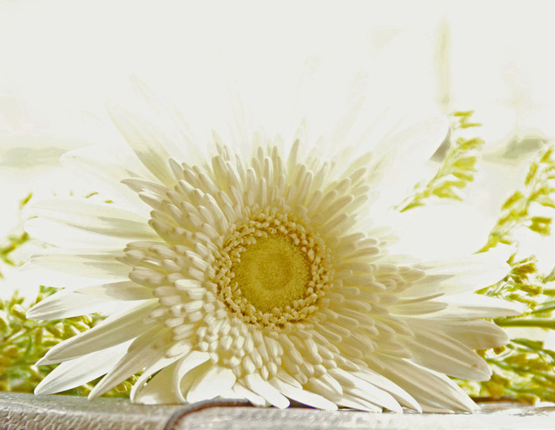 Selective Focus Beauty In Nature Tranquil Scene Scented Flowers Scent Of A Time Refreshment Scents & Senses... Scent Delicious Scents Daisies Daisy 🌼 Daisy ♥ Daisy Flower Head Daisyflower Daisydream Daisy <3