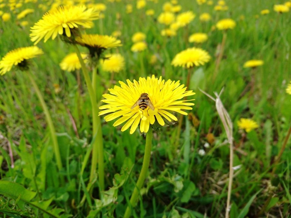 Flower Yellow Petal Flower Head Fragility Nature Plant Freshness Focus On Foreground Beauty In Nature Growth Sunflower Summer Outdoors Close-up Insect Day Uncultivated No People Beauty Bee Bees And Flowers Bees Beesonflowers