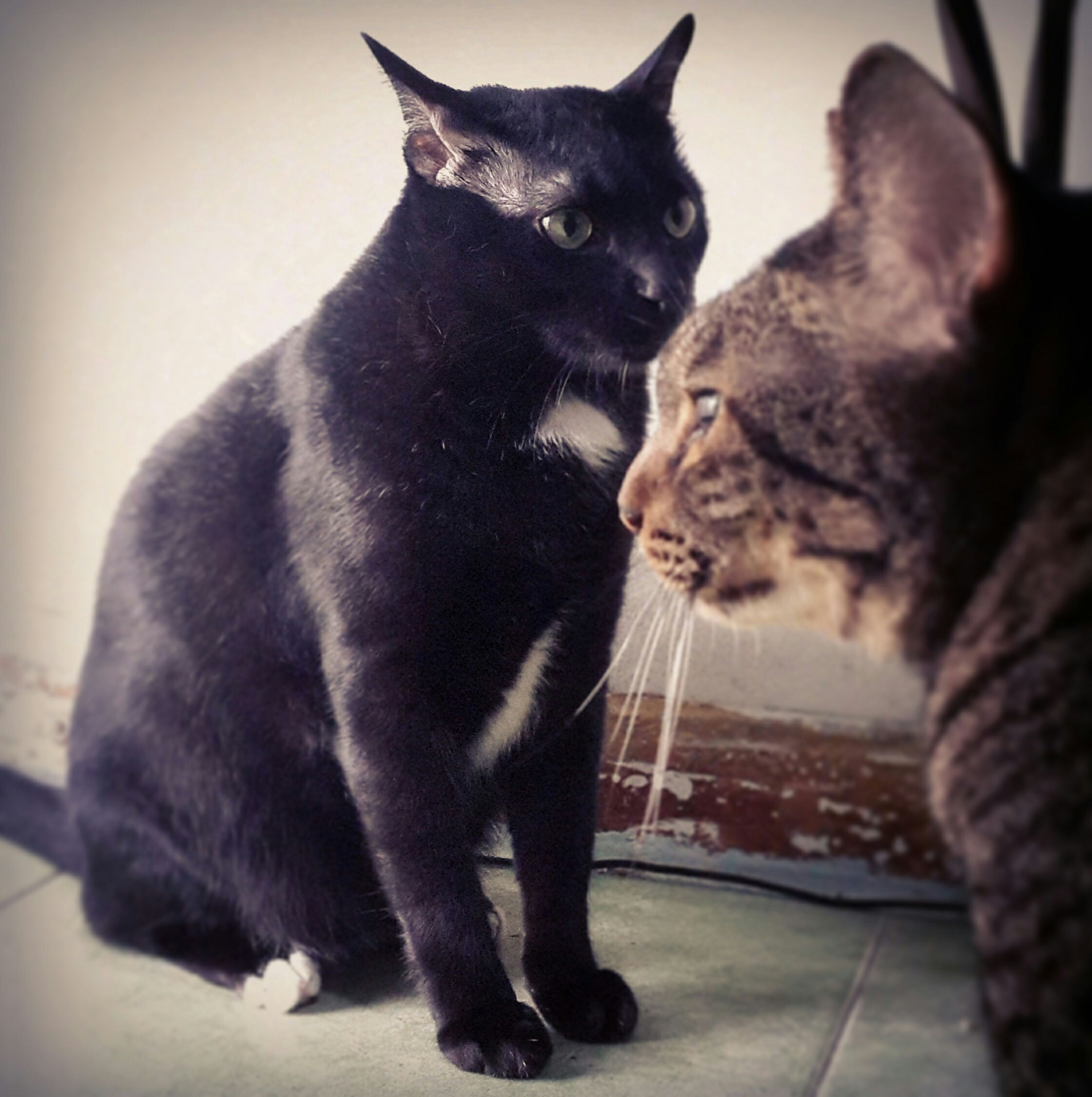 animal themes, pets, one animal, domestic cat, domestic animals, cat, mammal, indoors, feline, black color, whisker, sitting, home interior, relaxation, full length, two animals, close-up, no people, black, home