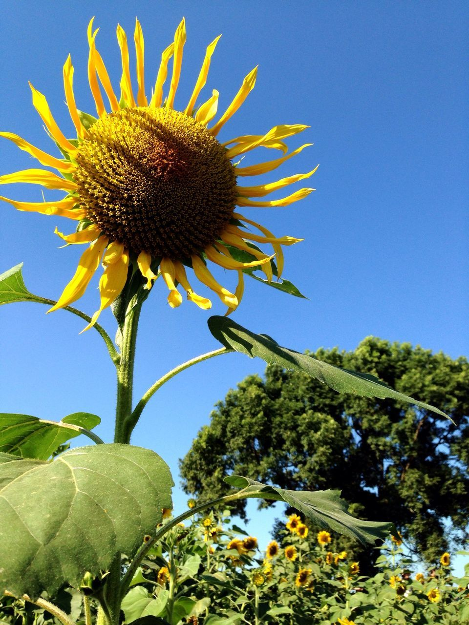 flower, growth, nature, fragility, plant, beauty in nature, sunflower, clear sky, freshness, low angle view, day, no people, tree, petal, outdoors, flower head, blooming, leaf, close-up, sky