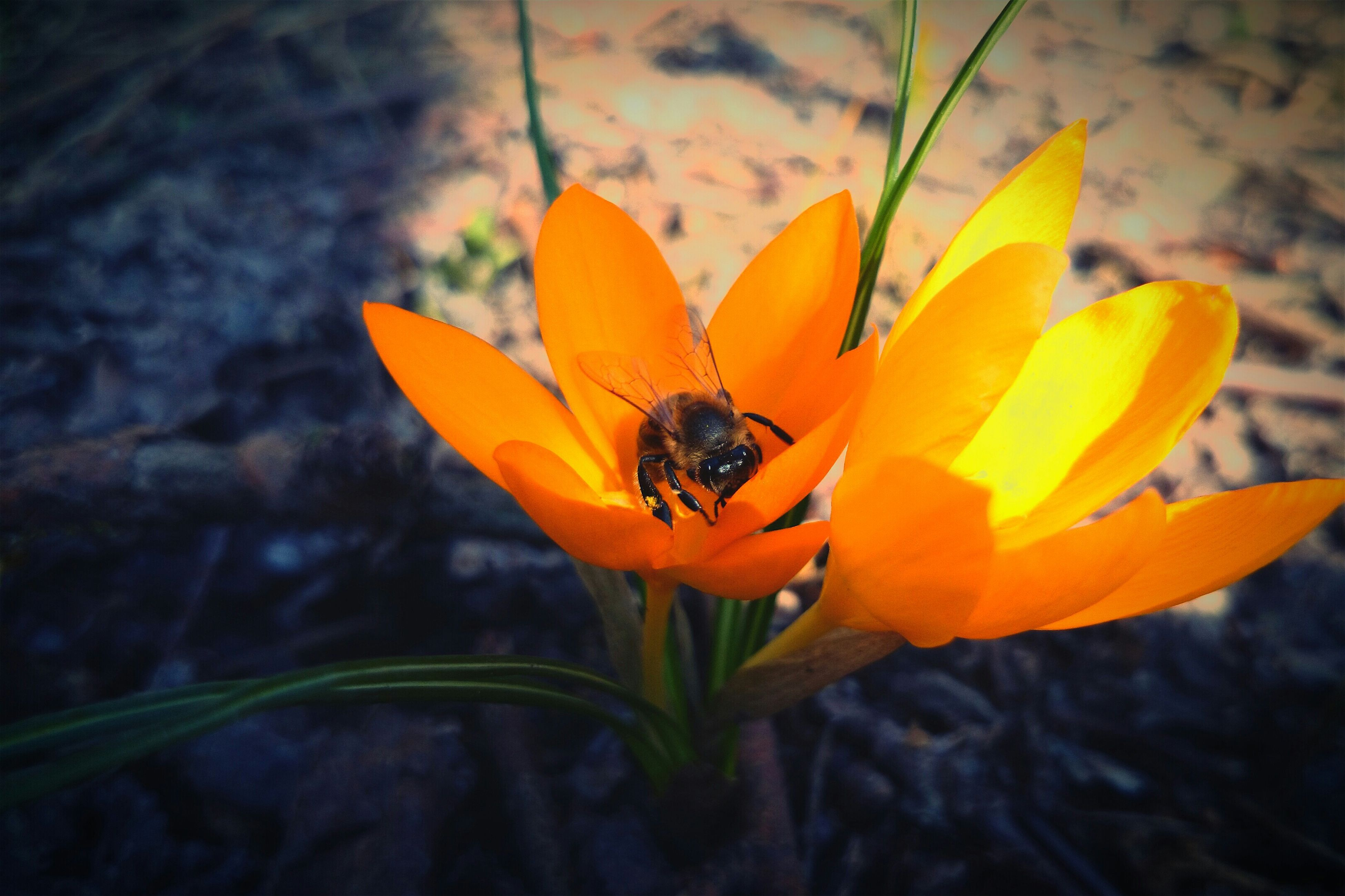 flower, petal, one animal, insect, flower head, fragility, freshness, animal themes, yellow, single flower, close-up, animals in the wild, growth, wildlife, beauty in nature, plant, focus on foreground, nature, blooming, pollen