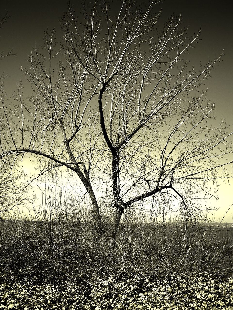 bare tree, branch, tree, landscape, nature, beauty in nature, tranquility, outdoors, no people, scenics, field, night, grass, clear sky, sky