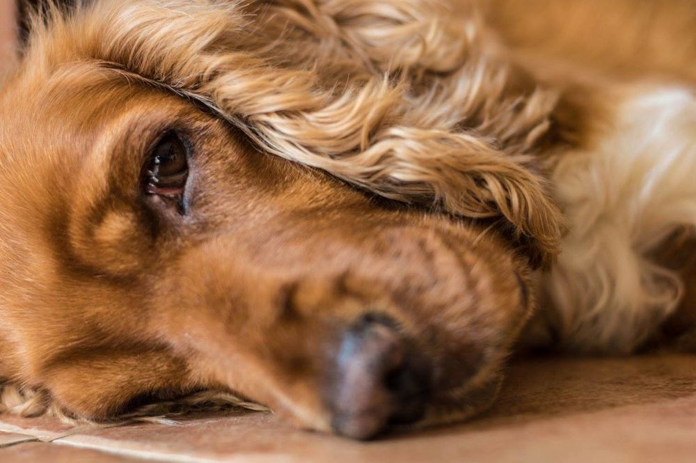 Animal Body Part Animal Themes Blonde Close-up Cocker Spaniel  Cockerspaniel Day Dog Dogs Dogs Of EyeEm Dogslife Domestic Animals Hardlife Indoors  Indoors  Mammal Nap Time No People One Animal Pets Portrait Sleepy