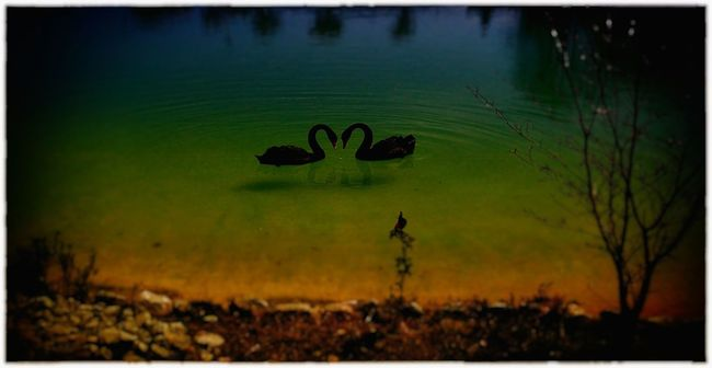 Black Swans Lake Love ♥ Nature Water Colour Of Life