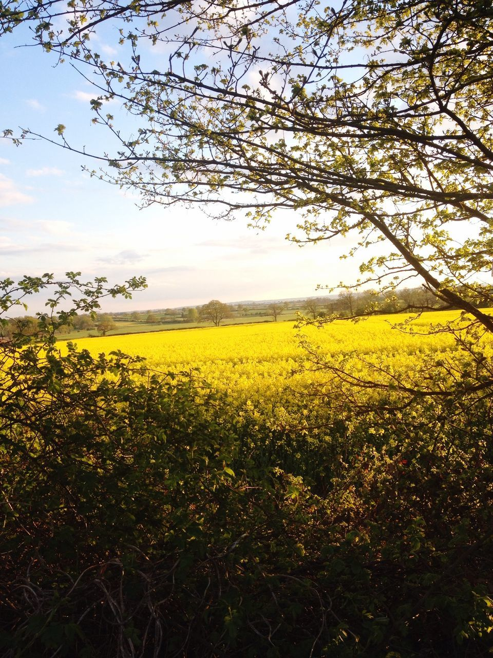 Fresh Oilseed Rape Field Against Sky