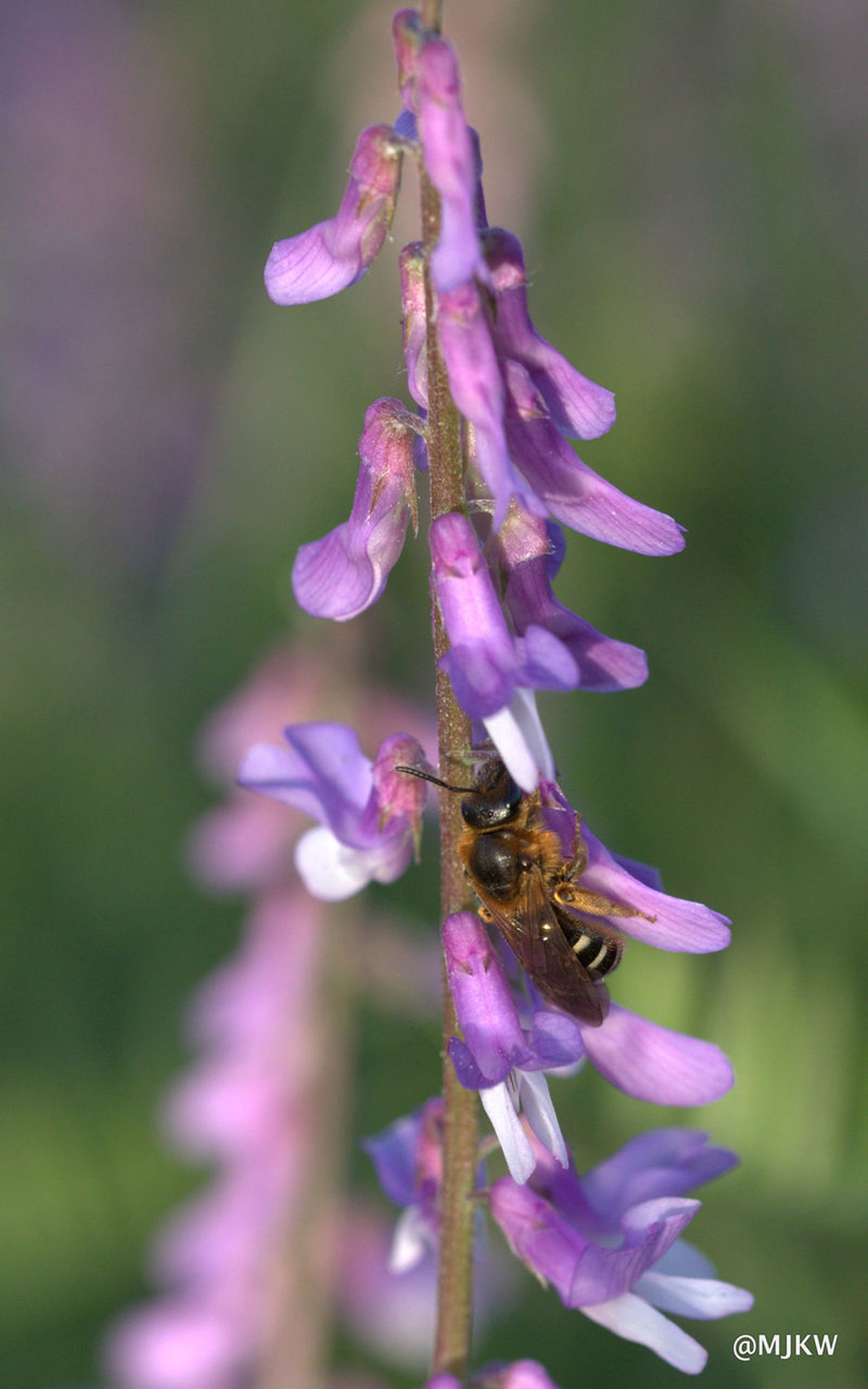 Animal Themes Beauty In Nature Bee Close-up Flower Fragility No People Petal Plant Purple