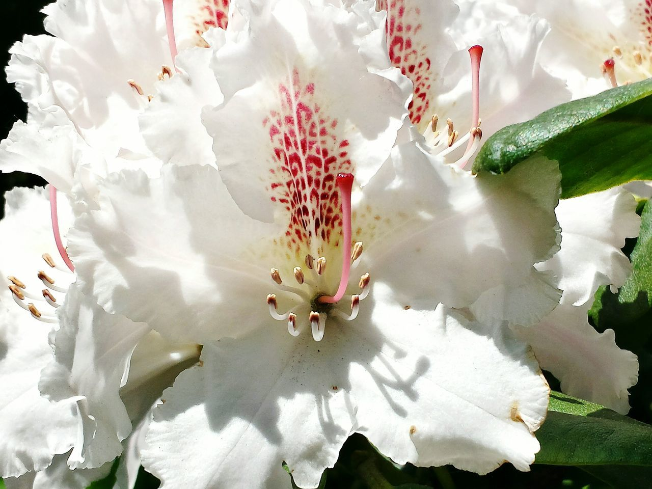 In Voller Blüte Rhododendron Rhododendronblűte Rhododendron Blossoms Close Up Close-up Macro Studies Of Botany Macro Beauty Blossoming Magic Blütenrausch Light And Shadow Mirroring On A Blossom Sunkissed Blütenzart Blossoming Beauty Blütenschönheit Blütenzauber Nature's Diversities Blűtenstempel Macro Blossoms Showcase: May Ladyphotographerofthemonth Beautiful Nature Full In Blossom