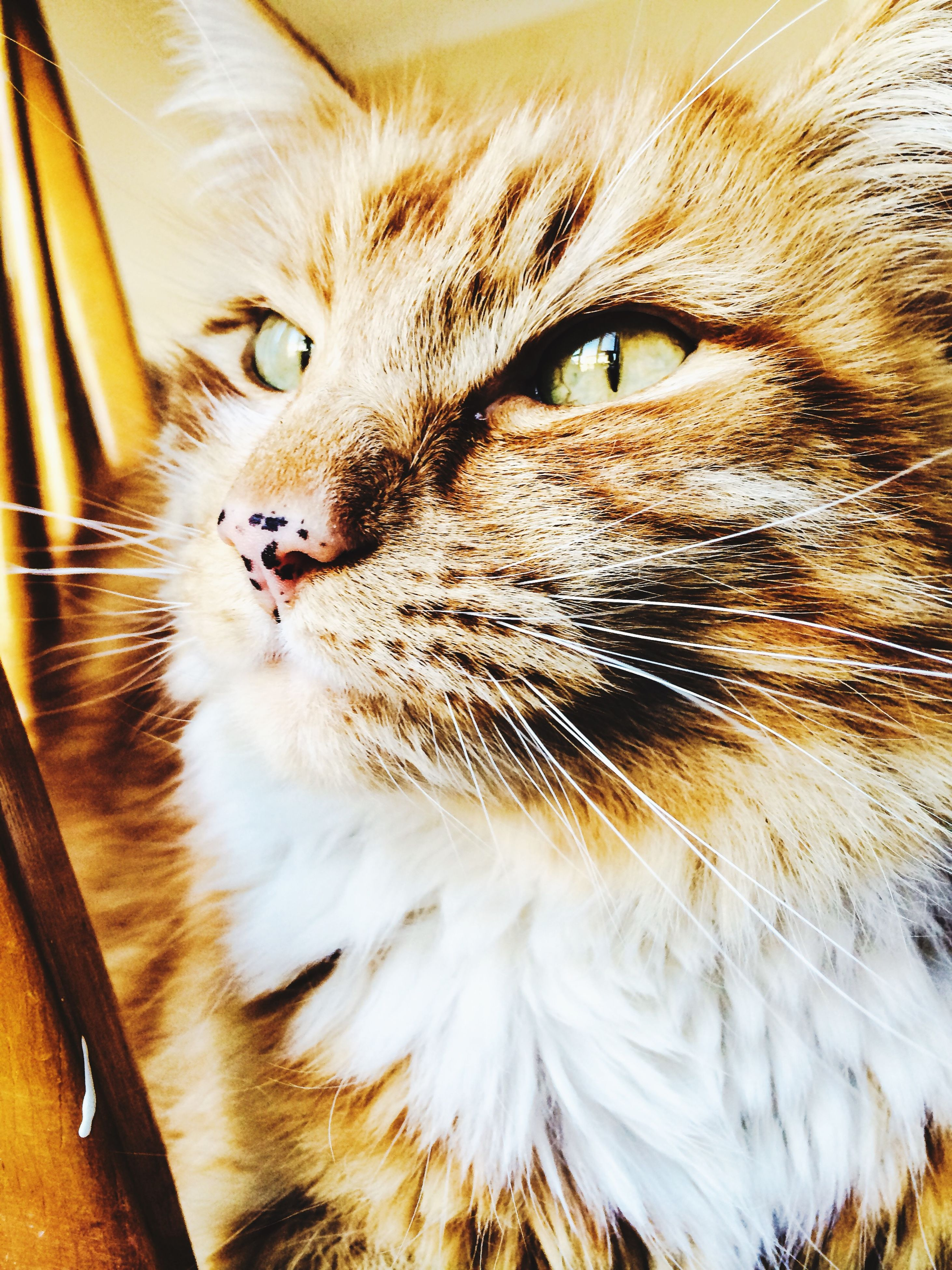 domestic cat, cat, pets, one animal, feline, domestic animals, animal themes, whisker, mammal, indoors, close-up, animal head, animal eye, staring, whiskers, looking away, animal body part, portrait, no people, alertness