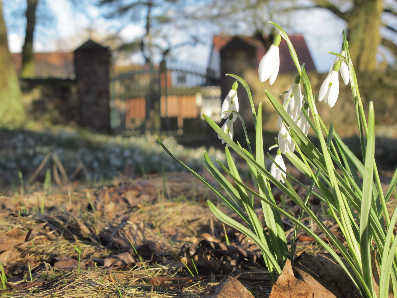 growth, nature, plant, no people, snowdrop, beauty in nature, fragility, focus on foreground, day, outdoors, freshness, close-up, flower, grass, flower head