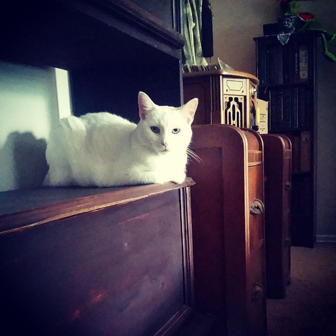 My little lovey, Roxie Baby ? Catsofinstagram Cats Fiercefelines Whitecats roxiebaby familiar lazycatdaze furbaby instacats