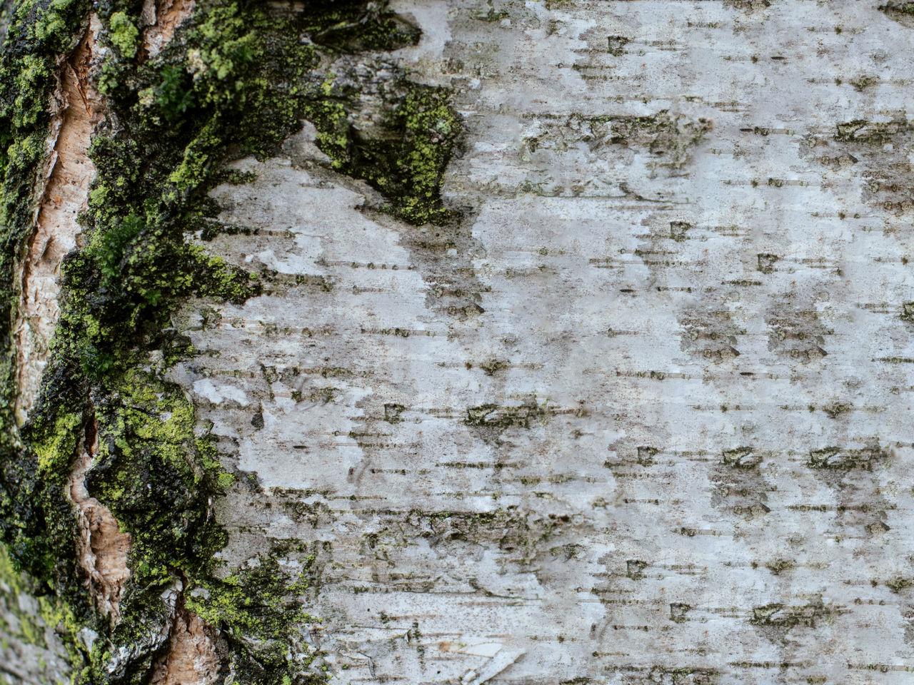 cirteccia 2 Backgrounds Bark Bark Moss Bark Texture Bark Texture Background Bark Tree Bark Tree Texture Barks Of A Tree Close-up Full Frame Moss Moss On Trees Textured  Tree Moss Tree Texture White Bark White Wood Wood
