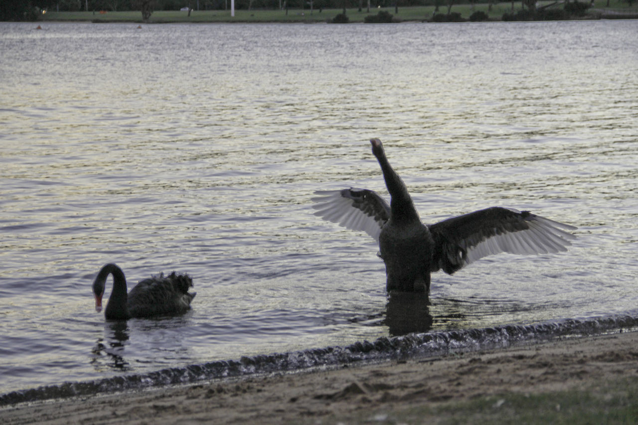 Black Swans Bird Black Swan In A Lake Black Swan Swimming Black Swans Nature No People Spread Wings Swans Swimming Water