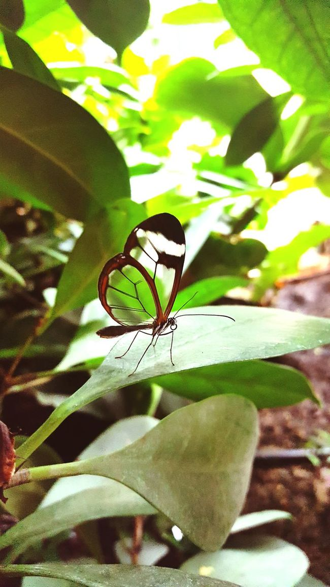 Glass winged butterfly Whipsnade Zoo Insect One Animal Animal Themes Animals In The Wild Leaf Wildlife Close-up Plant Butterfly - Insect Focus On Foreground Butterfly Growth Green Color Perching Nature Outdoors Animal Wing Beauty In Nature Plant Life Invertebrate
