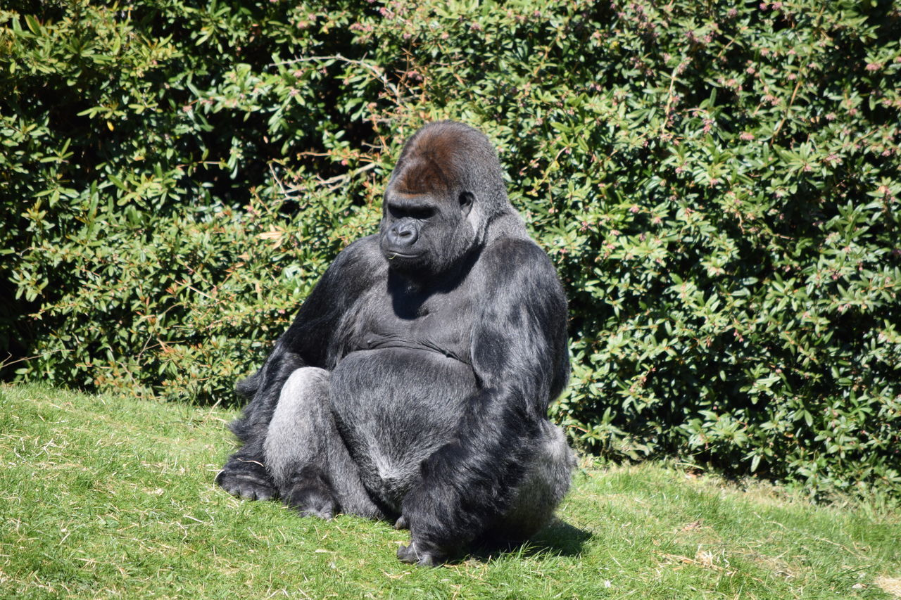 gorilla Animal Themes Animal Wildlife Animals In The Wild Ape Beauval Chimpanzee Day Female Gorilla Gorille Grass Green Male Mammal Monkey Nature No People One Animal Outdoors Plant Power Primate Sitting Strong Zoo