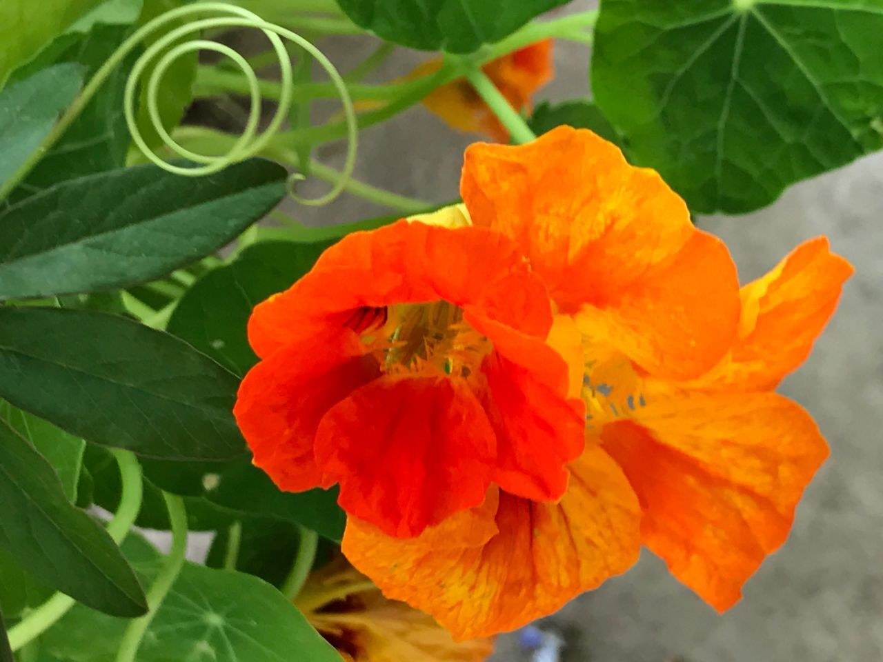Flower Fragility Nature Growth Beauty In Nature Plant Leaf Petal Orange Color Blooming Freshness Flower Head Close-up No People Green Color Day Outdoors Swirl Swirly Tendril Nasturtium Orange Yellow Bright Colors