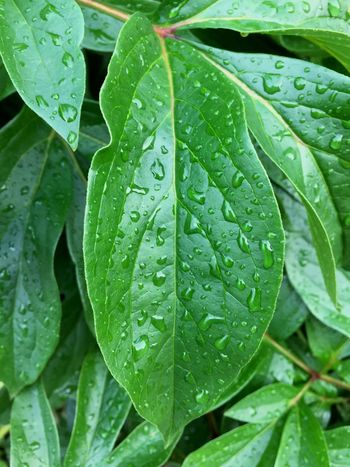 After the Rain Leaf Leaves Drop Green Color Wet Water Growth Freshness RainDrop Nature Day Outdoors Plant Summer Summertime Original Photo Inspiration Ambience Relax Chilled Sommergefühle