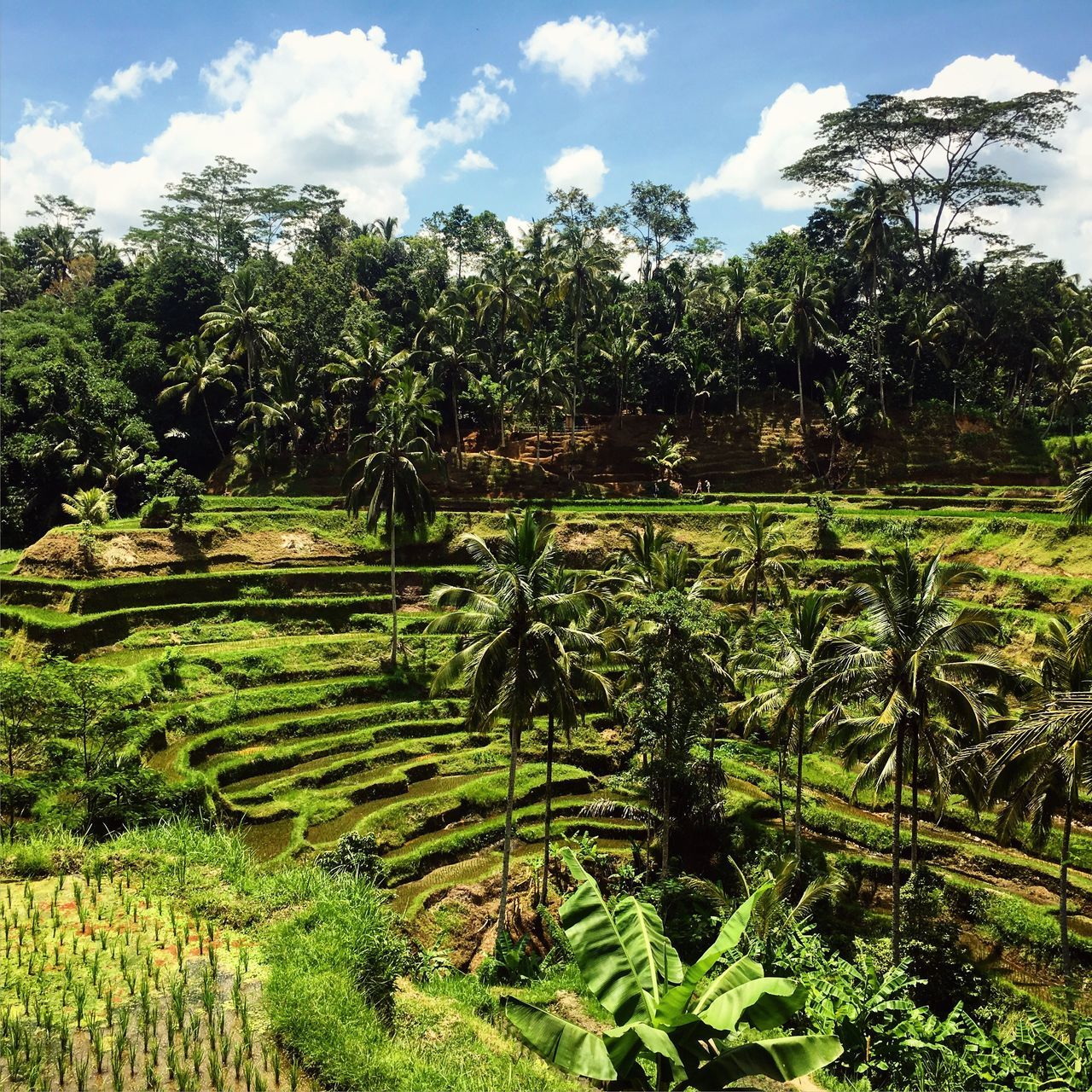 Tegalalang rice terace, ubud. Bali Rice Terraces Ubud Tegalalang INDONESIA Photography Nature Green Color Tree Terraced Field Beauty In Nature Sky Travel Destinations